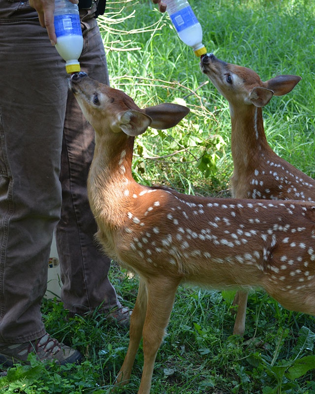 Emply_Inte__0000_white tailed deer fawn bottle feeding with intern