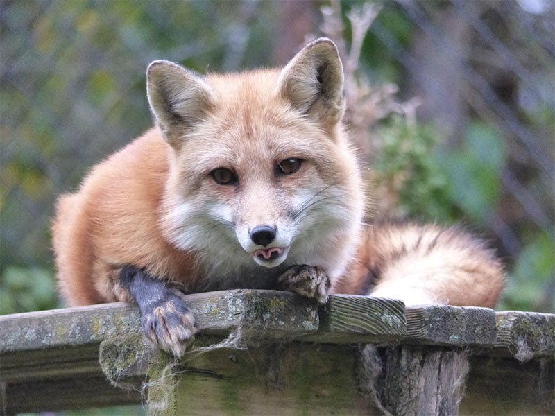 Education__0005_Copper Red Fox