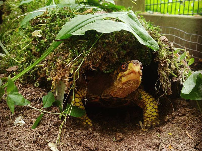 Education__0006_barney eastern box turtle 2017