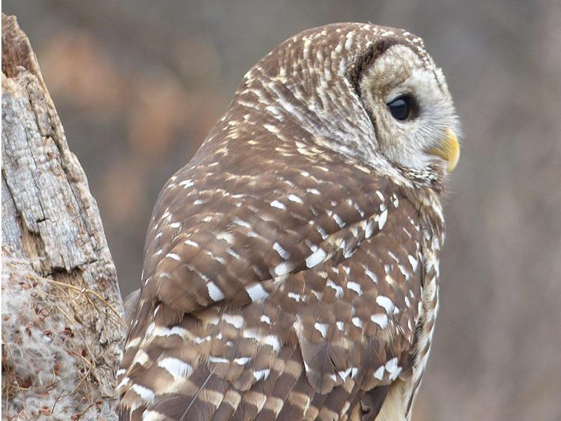 Education__0008_athena barred owl photo workshop 2017
