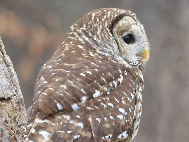 WWWP__0014_athena barred owl photo workshop 2017