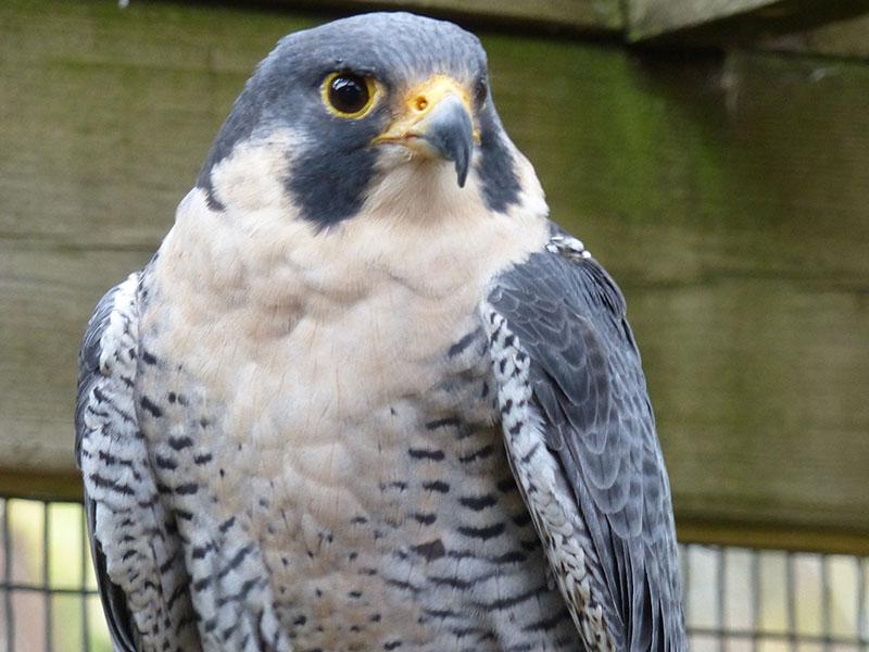WWWP__0015_allegro peregrine falcon 2016